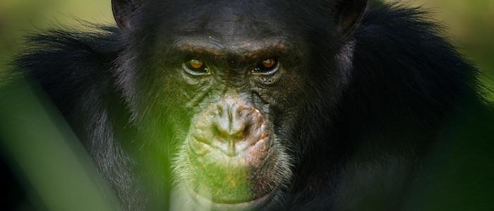 Chimpanzés, le combat des chefs
